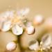 Bokeh:  Photinia blossoms up close