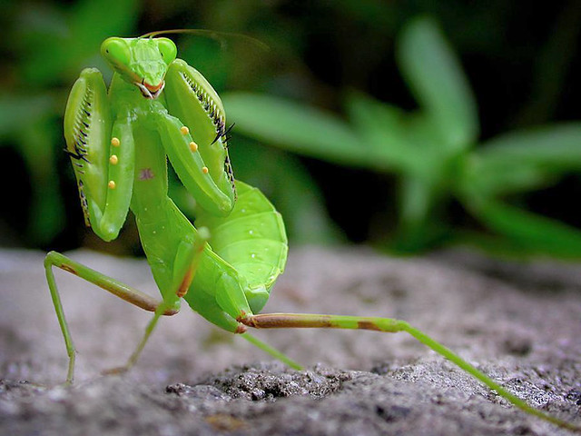 螳螂.Praying mantis