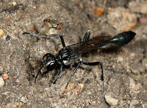 Thread-waisted Wasp with Satellite Fly   by cotinis