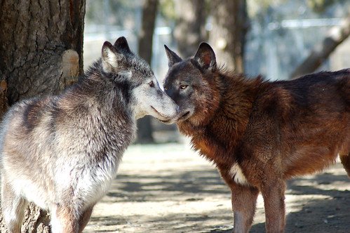 Love at first sight | by Kamia the Wolf