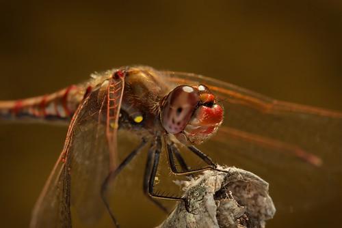 macro texas dragonfly roundrock ringflash canonef100mmf28usmmacro brushycreek canoneos30d excapturemacro motleypixel royniswanger autumnmedowhawk