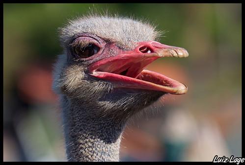 avestruz | 相片拥有者 luiz lage