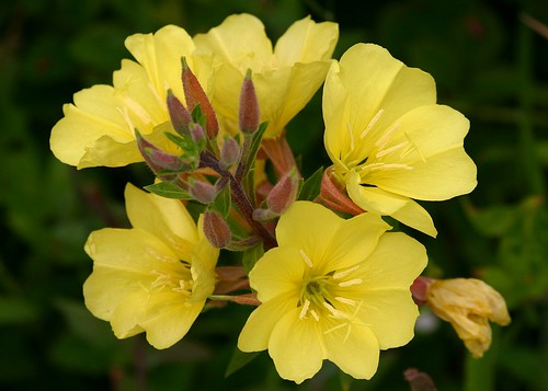 Oenothera elata ssp. hookeri/Hooker's Evening-primrose | by David A. Hofmann