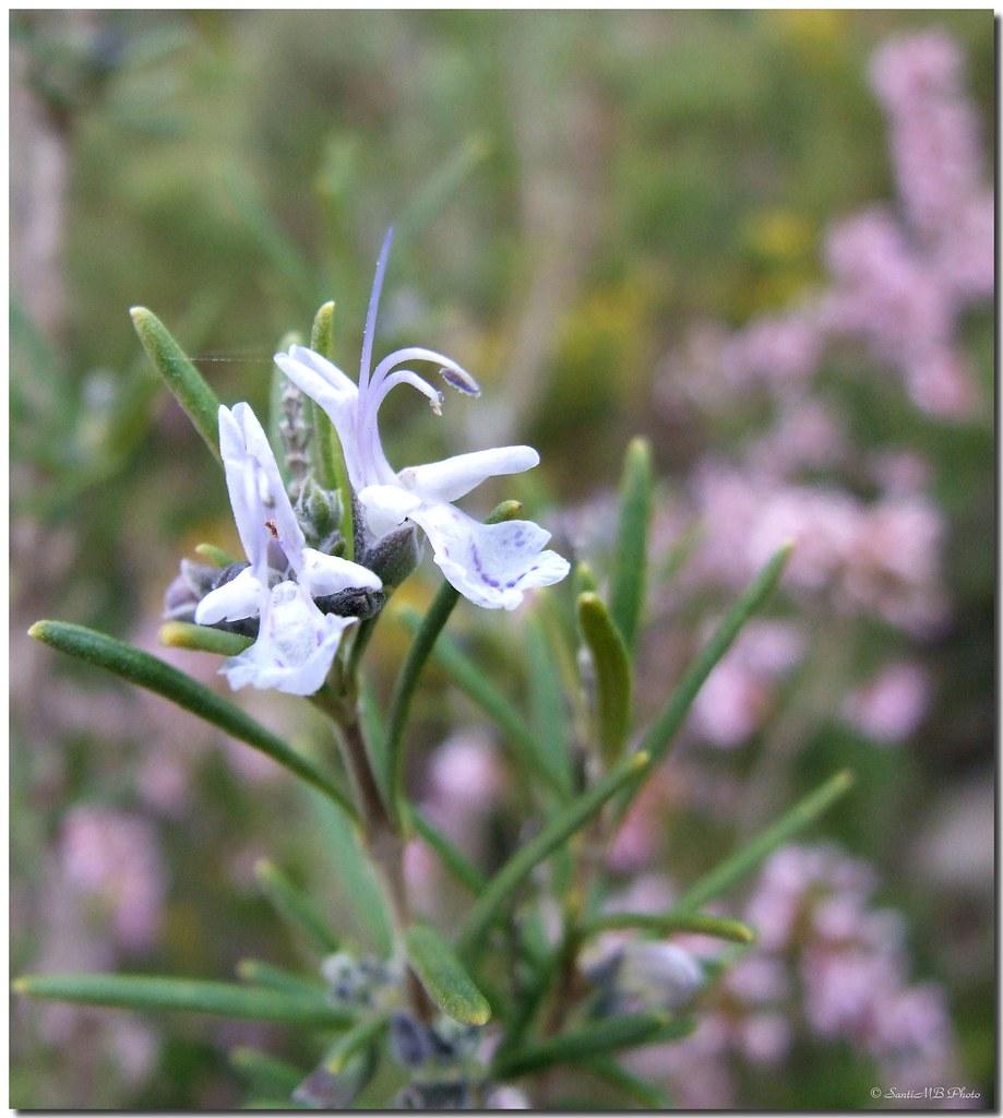 Mediterranean scent / Aroma mediterráneo by SantiMB.Photos