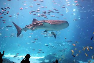 WHALE SHARK | Georgia Aquarium Atlanta, Georgia The ...