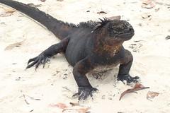 lava iguana