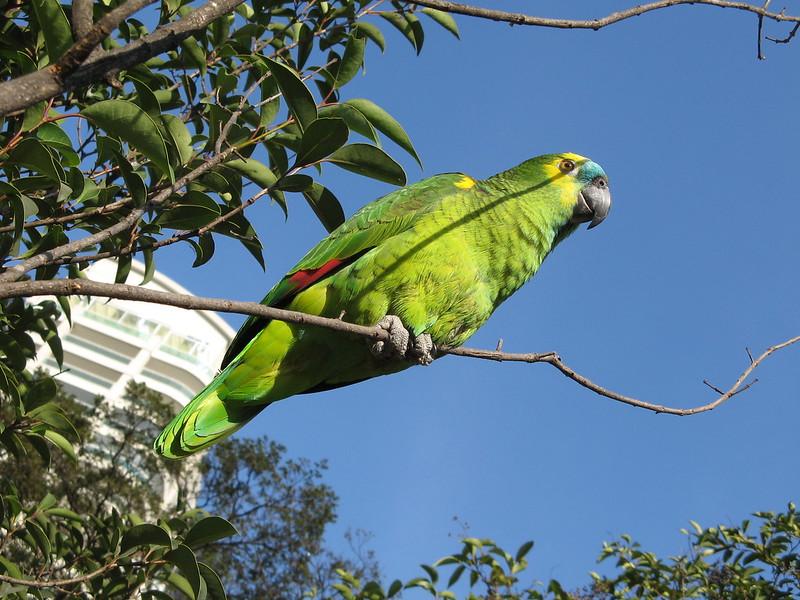 papagaio parque ceret (Amazona aestiva), Psittacidae.