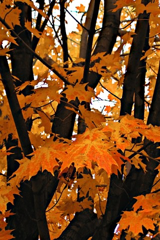 Iphone Wallpaper Fall Leaves Bright Orange Fall Leaves W