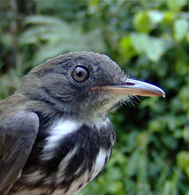 Corythopis torquata