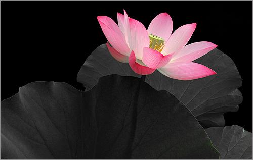 Lotus Flower -  IMG_7155 by Bahman Farzad