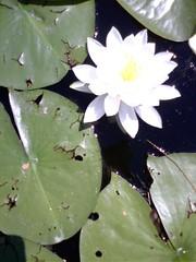 Lily at Italian lake