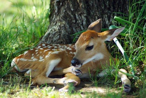 Fawn - Whitetail deer