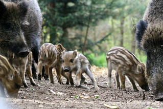 boar family | by vlod007