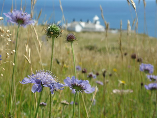 Small Scabious above the Lighthouse | by Durlston Country Park