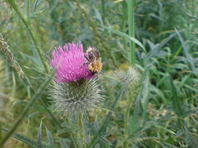 dsc00554 - Drunken Bee on Thistle
