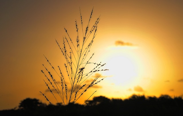 Sunset Bush
