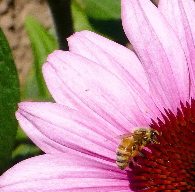 Echinacea master gardeners of santa clara county flickr - Master gardeners santa clara county ...