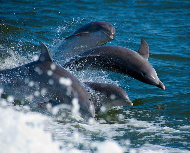 Wild Dolphin Group - Jumping together