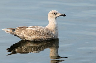 Glaucous-winged Gull, 1st winter | by birding4ever