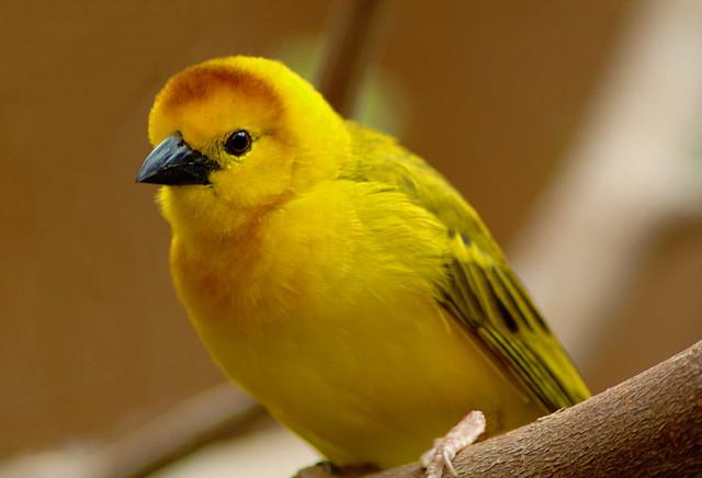 Another African Weaver Bird photo.