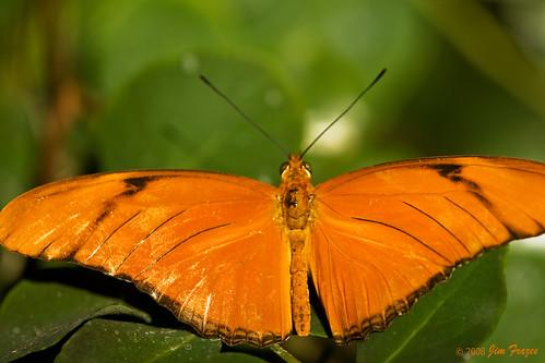 Orange Julia (Dryas julia) by Jim Frazee