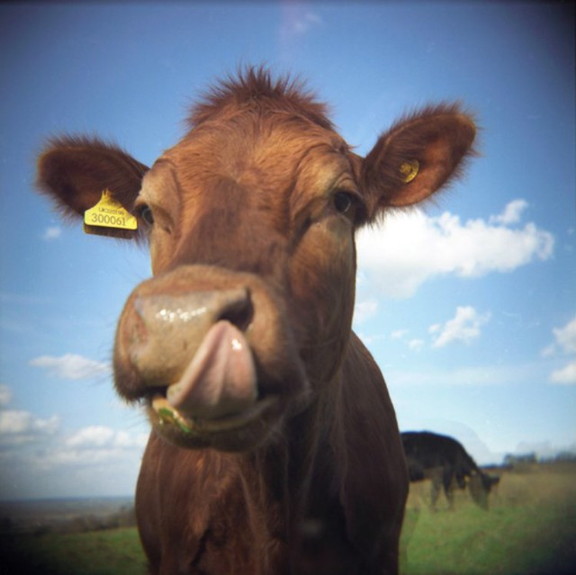 cow tuesday number 9