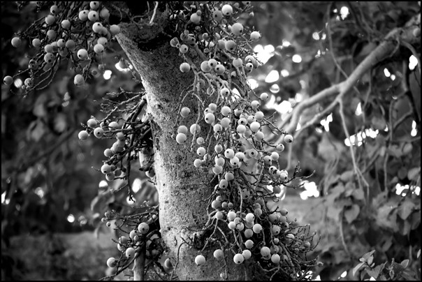 Large Fever-berry Tree
