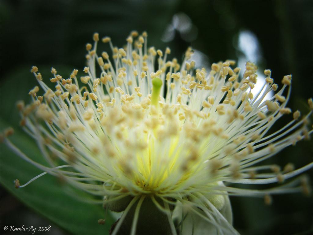 Bunga Jambu Biji Wp2 A Photo On Flickriver