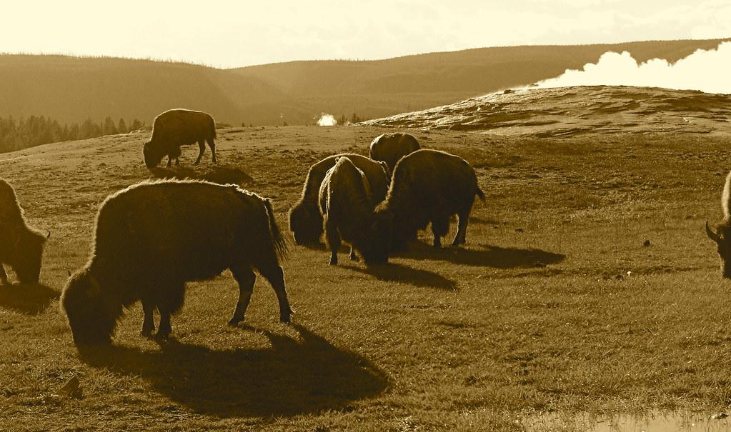 Bison Around Old Faithful Geyser Yellowstone National Par