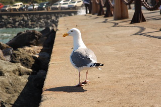 Sea Gull Walking | by A Gude