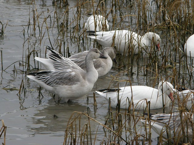 Snow Goose Juvenile