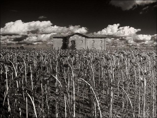 Casa colonica a Bentivoglio. Girasoli.