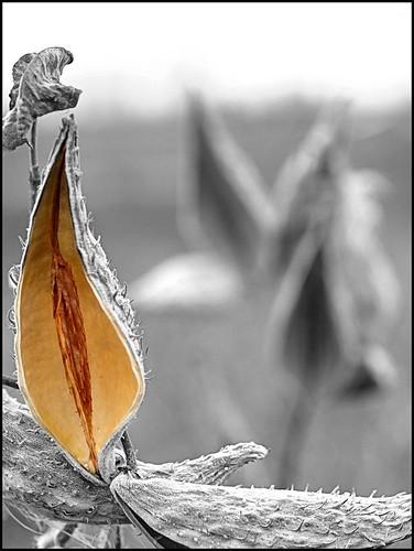 bw minnesota rochester prairie milkweed bigblue seedpod selectivecolor grayday commonmilkweed asclepiassyriaca hbw flickrsbest zuiko50mmf2 explorehighest296