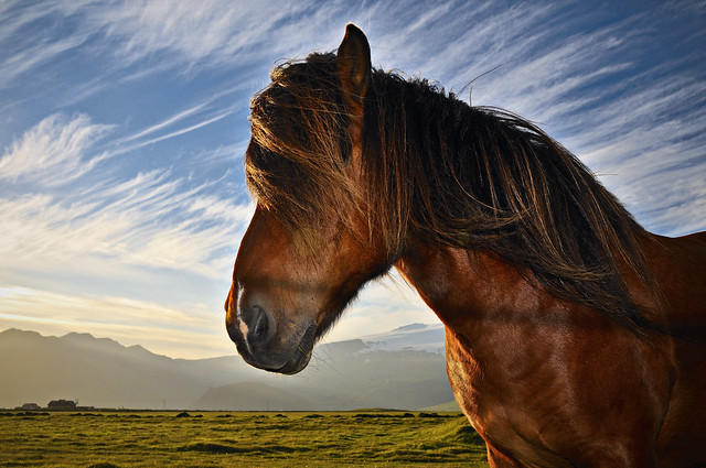 Icelandic horse in the midinght sun.