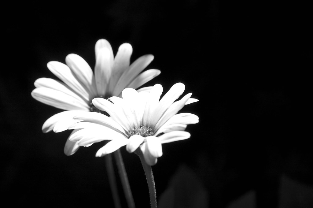 White Flower On Black Background Jaeson K Flickr