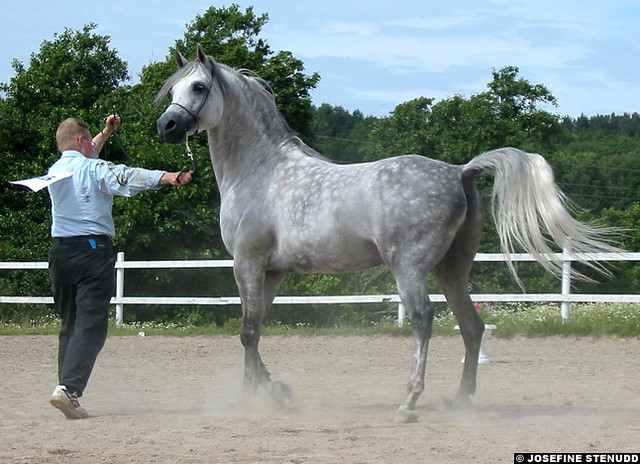 20020721 Raycito, Arabian stallion at a national show in Munkedal, Sweden