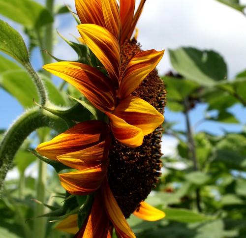 flower nature connecticut sunflower lymanorchards middlefieldct sunflowermaze awesomeblossoms