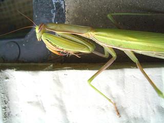 Green Mantis 1 | by volkspider