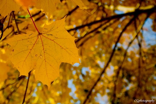 autumn usa fall yellow leaf newjersey maple branches nj mapleleaf chrisgiuliano chrisgiulianophotography