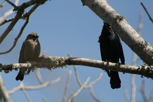 Brown-headed Cowbird & Common Grackle (Molothrus ater ater & Quiscalus quiscula quiscala) | by J Scott Ryder