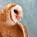 Female Barn Owl