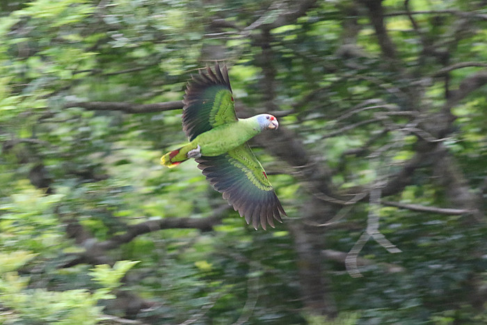 Red-tailed Amazon (Amazona brasiliensis)