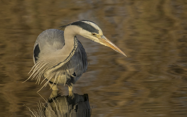 Heron still looking for the Goldfish
