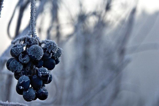 Frozen vine grapes [Explored]