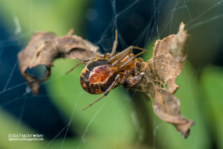 Comb-footed spider (Nihonhimea sp.) - DSC_9503