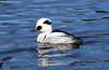 Smew - Mergellus albellus by Engilis Photos