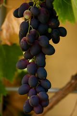 Black Emerald Grapes   by ksuayan