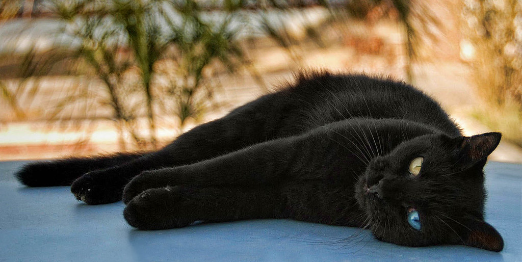 Odd-Eyed Black Cat