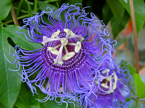 Passion Flower | by photoholic1