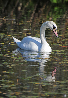 Mute Swan, Cygnus olor, on Water, RSPB Old Moor, Barnsley | by Steve Greaves